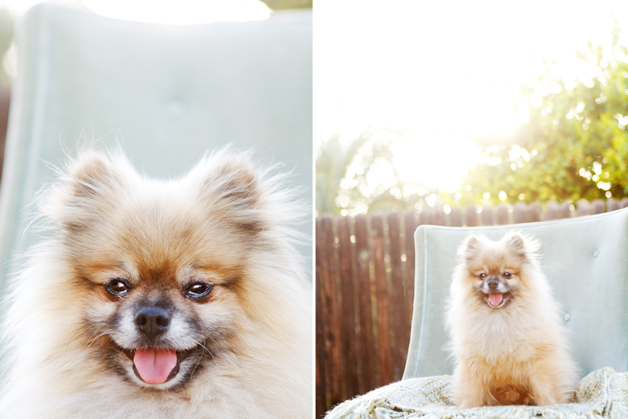 Bandit the Pomeranian by Kira DeDecker Photography | Pretty Fluffy