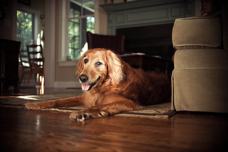 Buddy the Golden Retriever by Laura Olsen Imagery | Pretty Fluffy