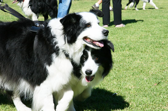Border Collie Fun Day | Pretty Fluffy