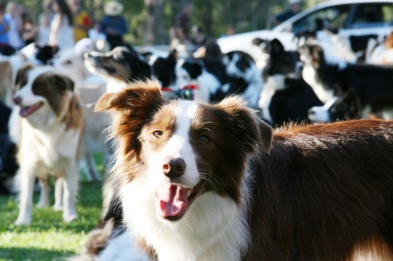 Border Collies at Border Collie Fun Day | Pretty Fluffy