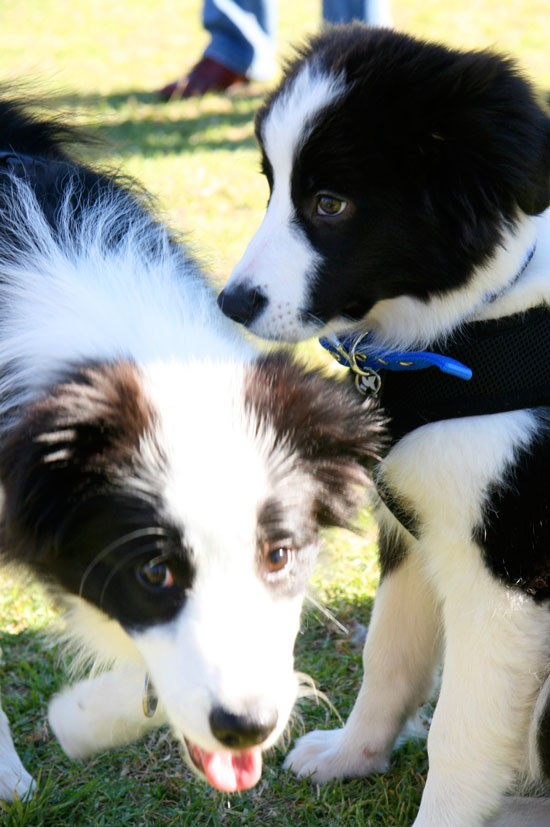 Border Collie Puppies | Border Collie Fun Day | Pretty Fluffy