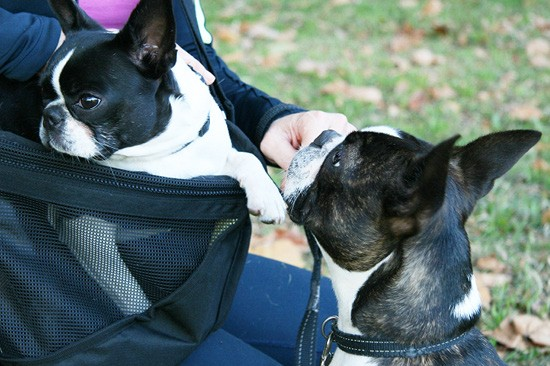Pet Sling for Small Dogs | Pretty Fluffy