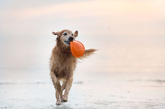 Leila the Golden Retriever by Nicole Begley Photography | Pretty Fluffy