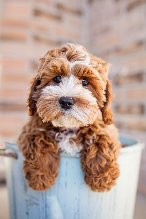 Tessa by cockapoo puppy by happy tails pet photography pretty fluffy