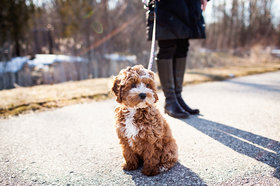 Tessa by Cockapoo Puppy by Happy Tails Pet Photography | Pretty Fluffy