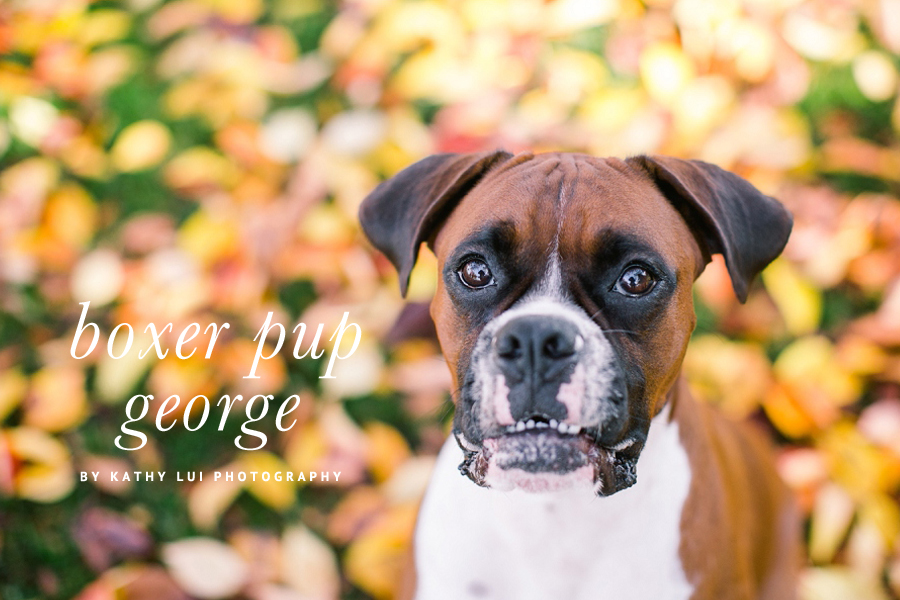 George the Boxer Puppy by Kathy Lui Photography | Pet Photography | Pretty Fluffy