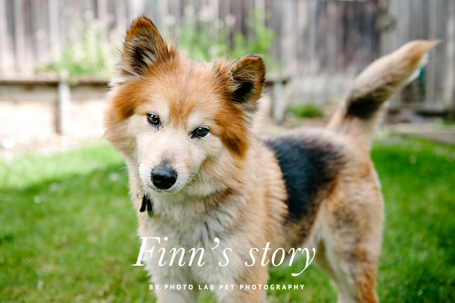 Finn's Rescue Story by Photo Lab Pet Photography - On January 21, 2014, Sonoma Humane Society was called upon to rescue 63 Finnish Lapphunds of all ages and in very poor health from a breeder who had fallen on hard times. 9 year old Finn was one of the dogs. Read his full story here...