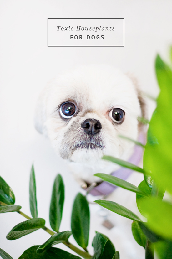 Toxic-House-Plants-For-Dogs