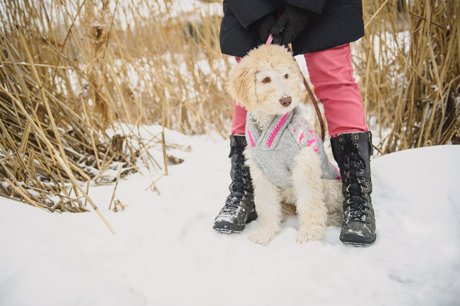Could there be anything cuter than goldendoodle puppy photos? If you're looking for a photographer for your goldendoodle, Chantal Levesque Photo is for you!
