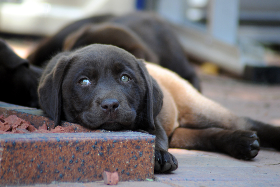 Labrador Puppies by Pet Clix Photography | Pretty Fluffy