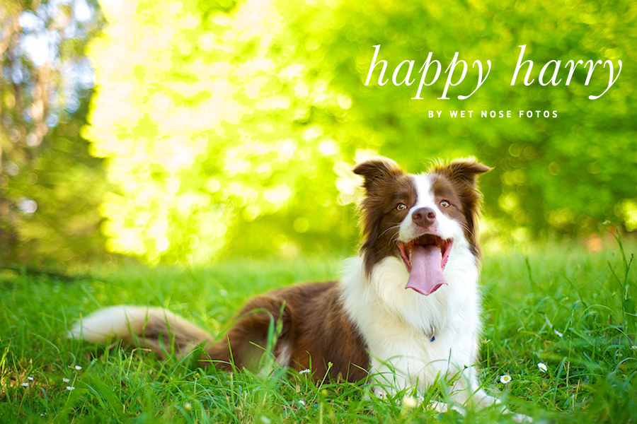 Harry the Border Collie by Wet Nose Fotos | Pretty Fluffy