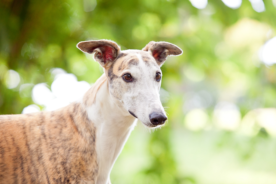 Rescue Greyhounds by Charlotte Reeves Photography   Pretty Fluffy