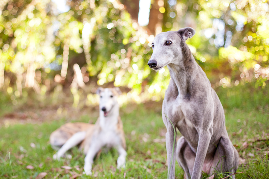 Rescue Greyhounds by Charlotte Reeves Photography | Pretty Fluffy
