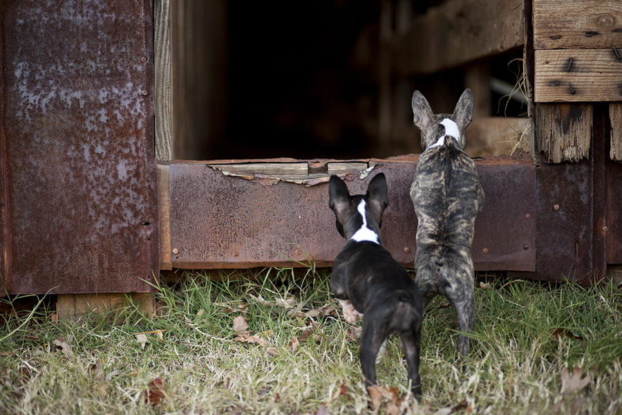 Boston Terrier Puppies by McGraw Photography | Pretty Fluffy