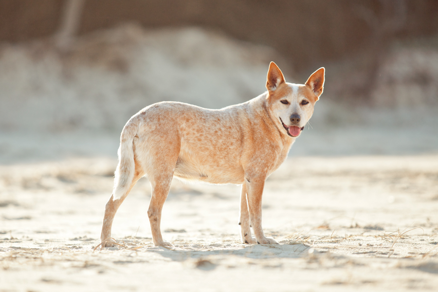 Cattle Dog Beach Session by Charlotte Reeves Photography | Pretty Fluffy