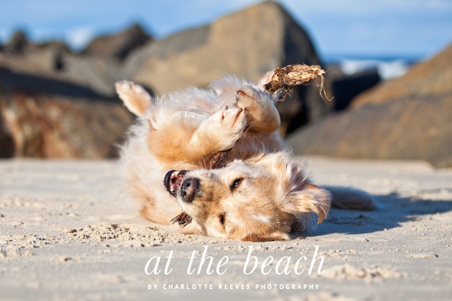 Golden Retriever Beach Session by Charlotte Reeves Photography | Pretty Fluffy