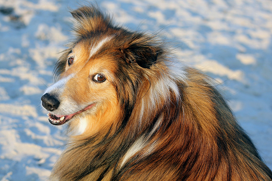 Biscuit the Shetland Sheepdog by Katherine Carver Photography | Pretty Fluffy