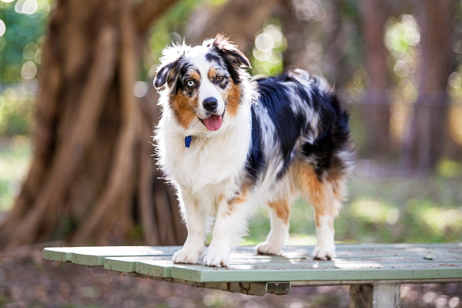 Autumn the Australian Shepherd by Charlotte Reeves Photography | Pretty Fluffy