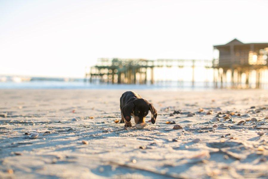 Oscar the Dachshund Puppy by Dana Cubbage Photography   Pretty Fluffy