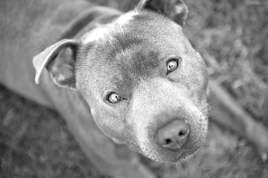 Bam Bam the Staffy by Petal Photography | Pretty Fluffy