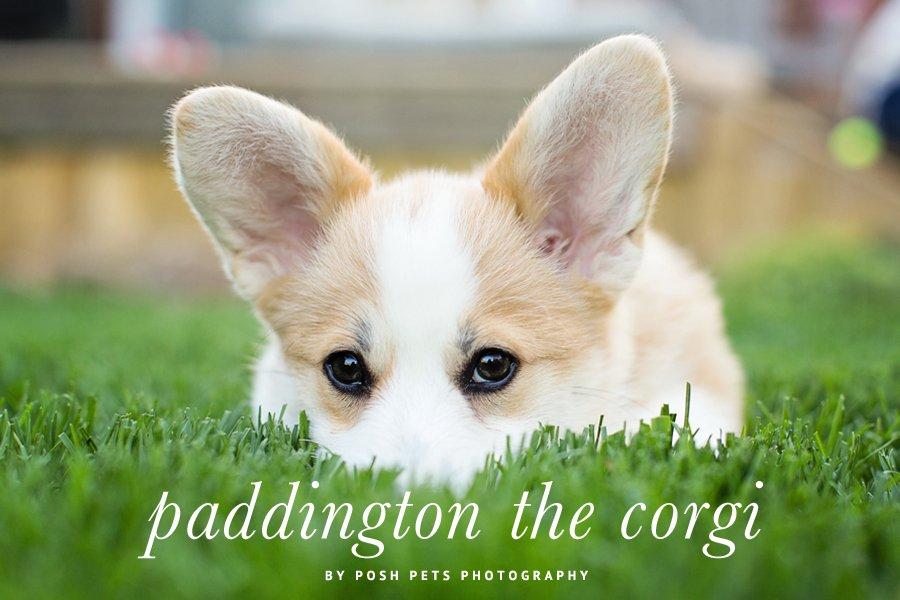 Paddington the Corgi by Posh Pets Photography   Pretty Fluffy