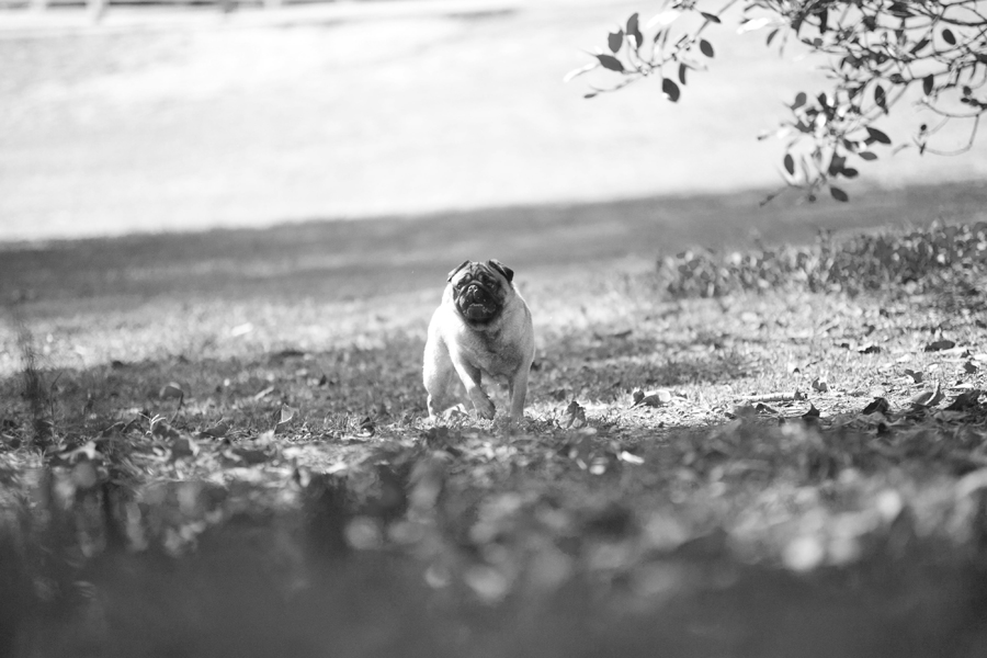 Hans thePug by Petal Photography | Pretty Fluffy