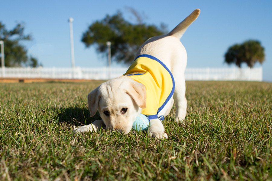Wrigley the Service Puppy by Allison Shamrell Photography | Pretty Fluffy