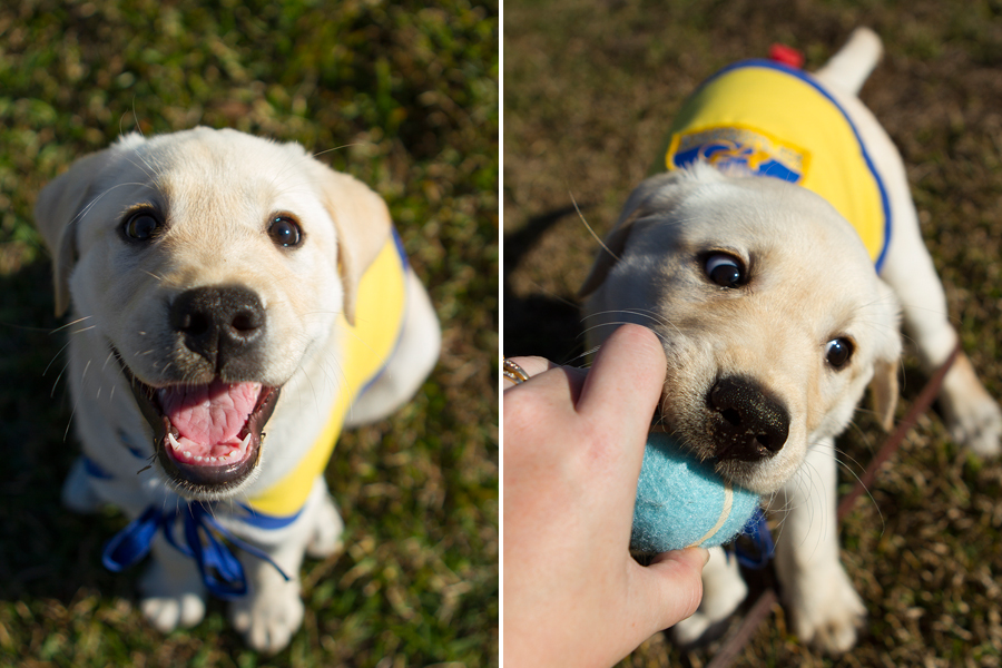 Wrigley the Service Puppy by Allison Shamrell Photography   Pretty Fluffy