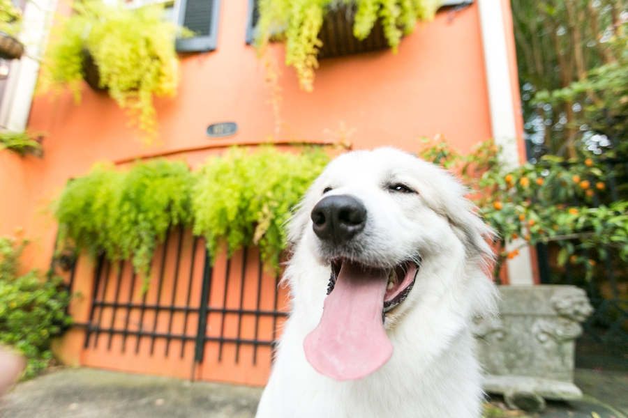 Lincoln the Great Pyrenees by Dana Cubbage Photography | Pretty Fluffy