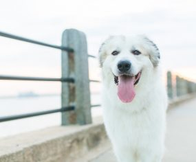 Lincoln the Great Pyrenees by Dana Cubbage Photography   Pretty Fluffy