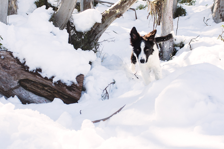 Border Collie Puppy's First Trip to the Snow! (C) Photography by Akemi Photograph