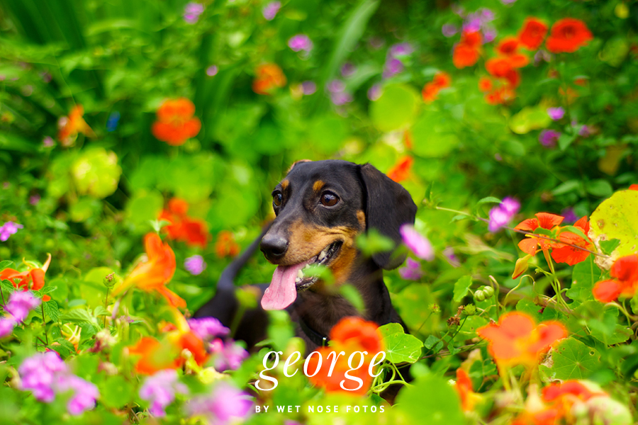 George the Dashshund by Wet Nose Fotos | Pet Photography Melbourne, Brisbane | Pretty Fluffy