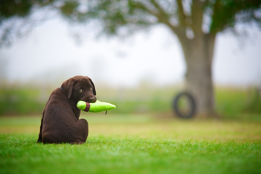 Brody the Lab Puppy by Wet Nose Fotos