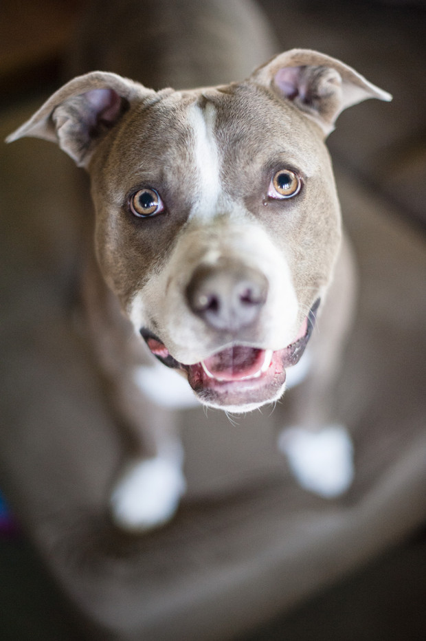 Adopted Brother & Sister Pit Bulls by KatKu Photography | Pet Photography | Pretty Fluffy