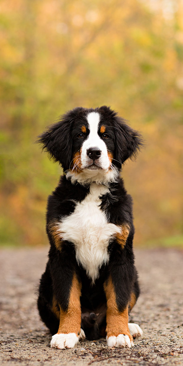 Bernese Mountain Dog Puppy by Nicole Begley Photography