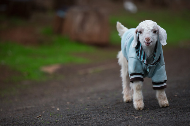 Frostie the Snow Goat from Edgars Mission | Pretty Fluffy