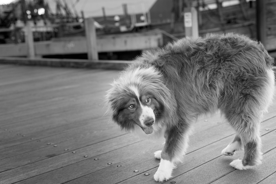 Oliver the Aussie Shepherd by Petography | Pretty Fluffy