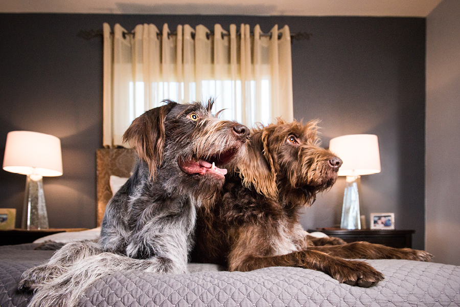 German Wirehaired Pointers by Westway Studio