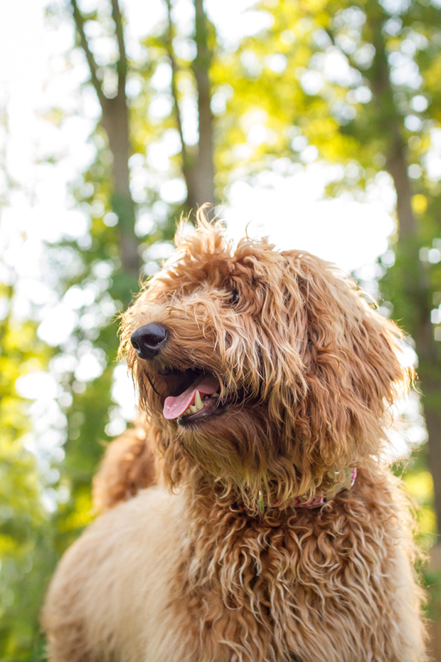 Lola the Goldendoodle by Mary Maier Photography | Visit www.prettyfluffy.com for more cute puppy photos!