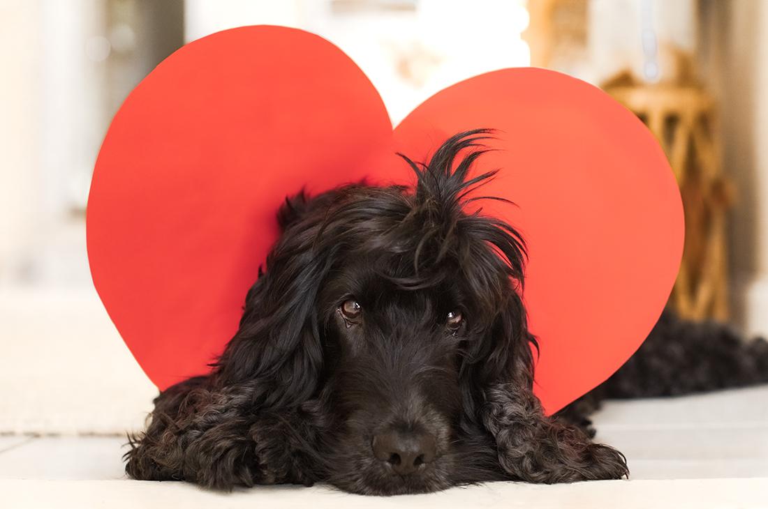 Black Cocker Spaniel Dog with Valentine's Heart