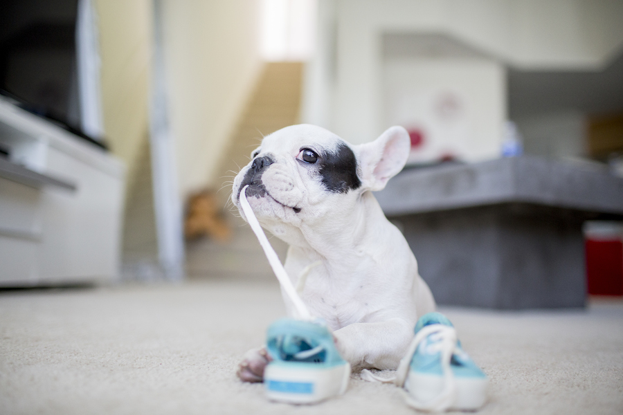 Wembley the French Bulldog Puppy by Frame Your Pet
