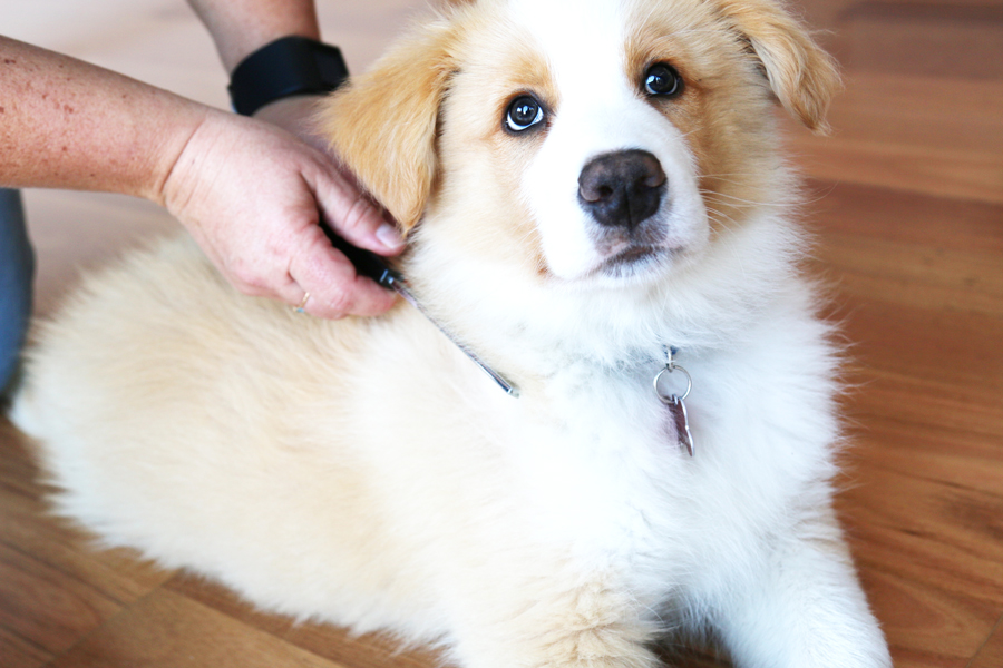 Every dog owner should know this simple, proven 4 step method to protect your dog from fleas and paralysis ticks - keeping your dog happy and healthy.