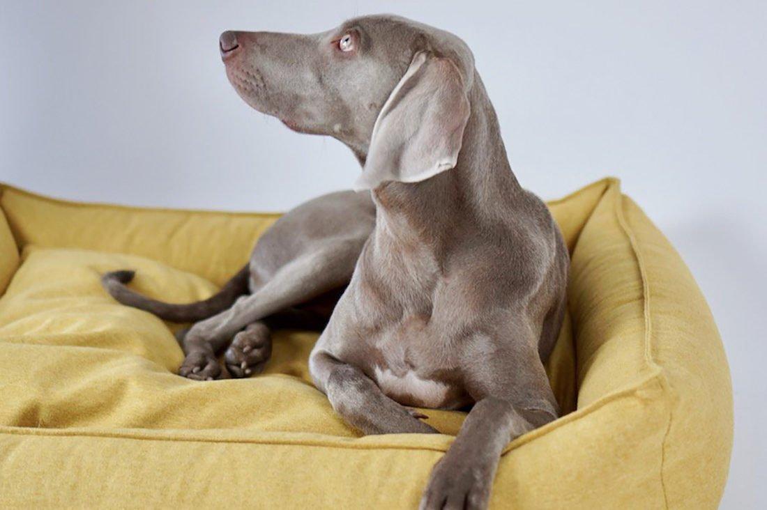 Cute dog on stylish yellow Movik Dog Bed