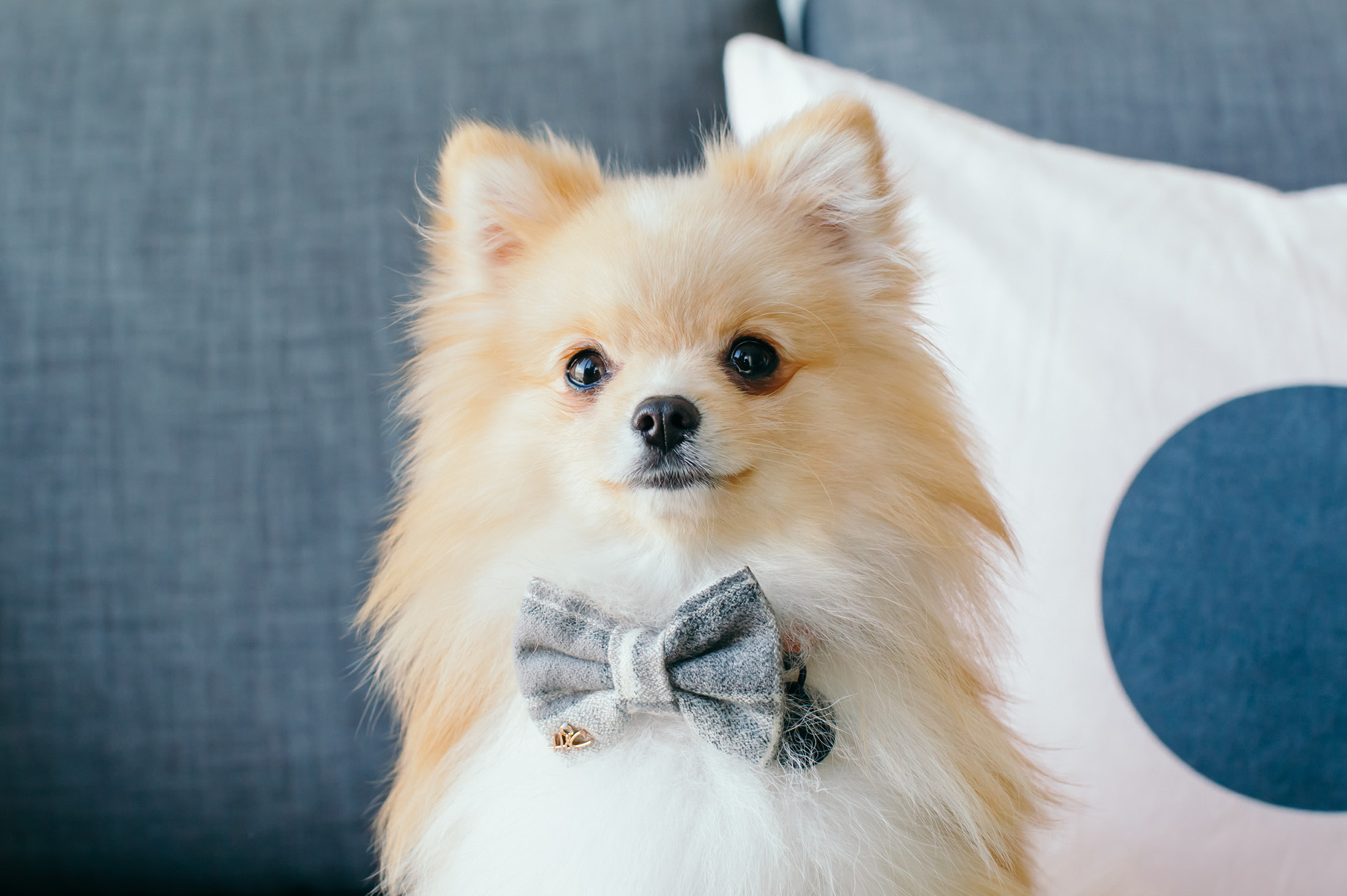 Stylish mini pomeranian with bow tie - 6 Simple pet photography tips