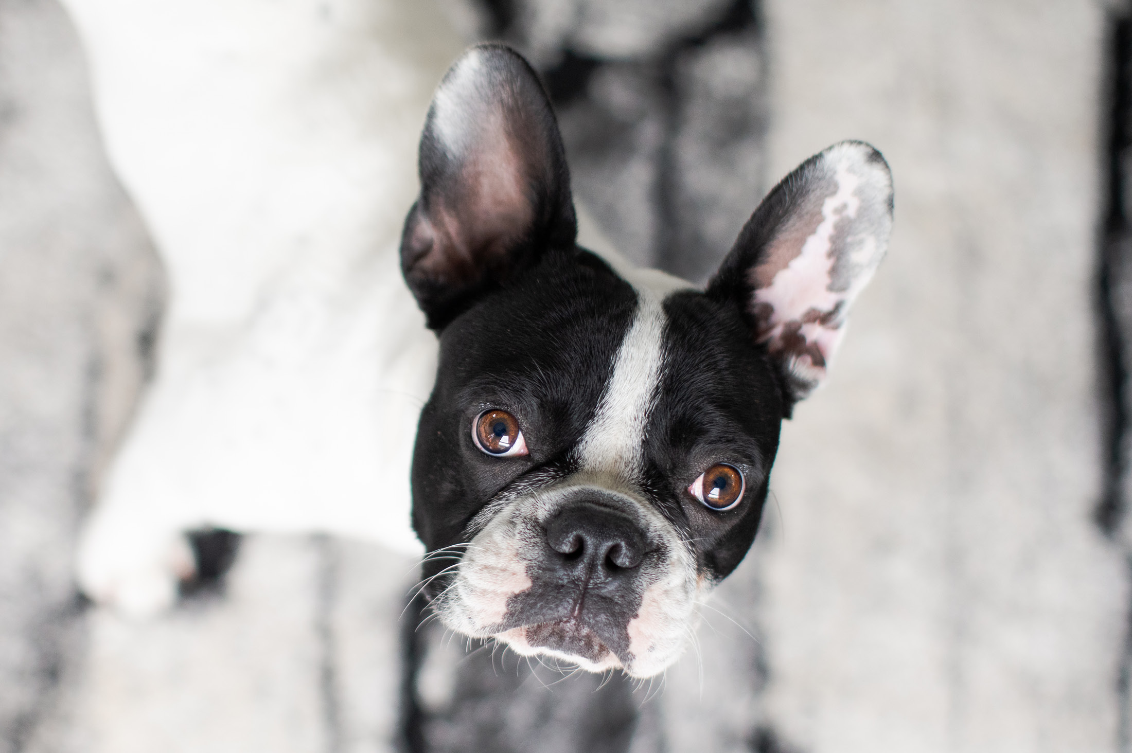 Boston terrier looking into camera - 6 Simple pet photography tips
