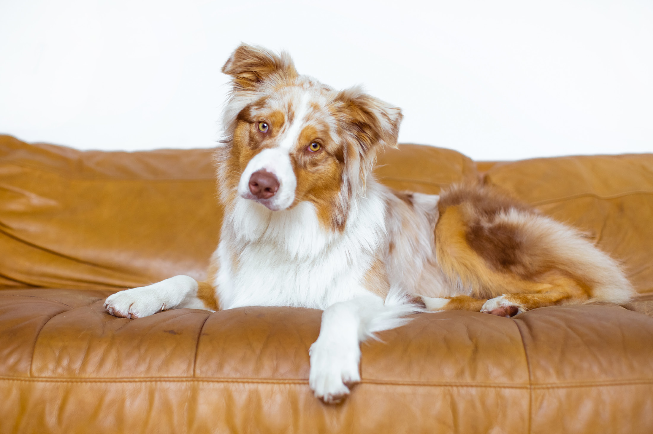 Aussie shepherd on tan leather couch - 6 Simple pet photography tips