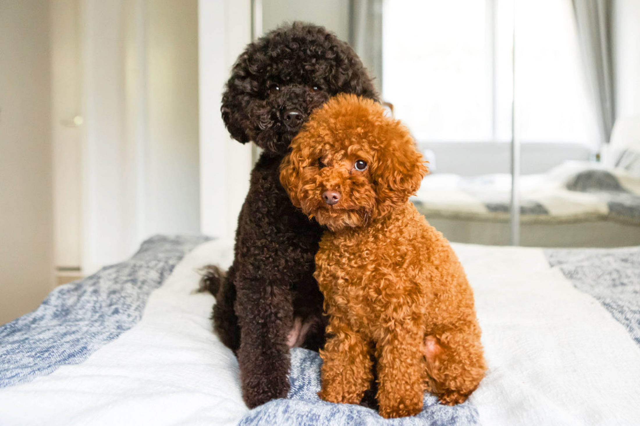 Black and brown toy poodle on bed - 6 Simple pet photography tips