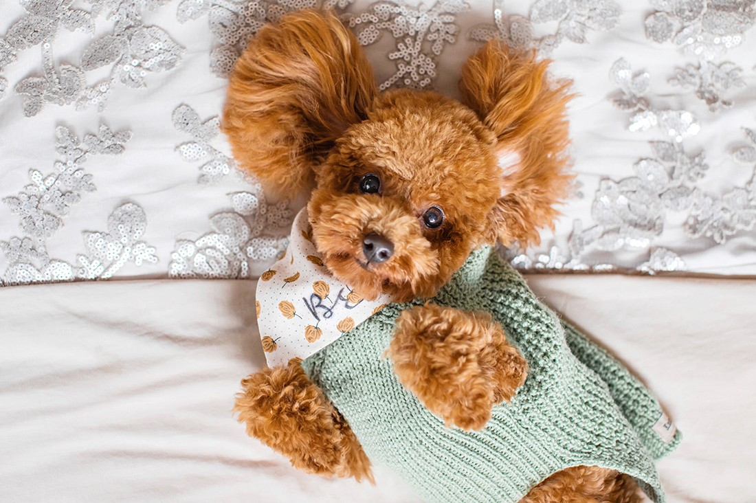 Toy poodle laying on bed - pet photography tips